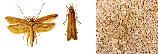 angoumois grain moth
