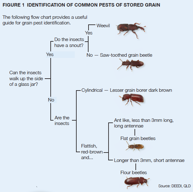 FIGURE 1 IDENTIFICATION OF COMMON PESTS OF STORED GRAIN