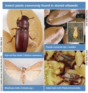 Insect pests commonly found in stored oilseeds