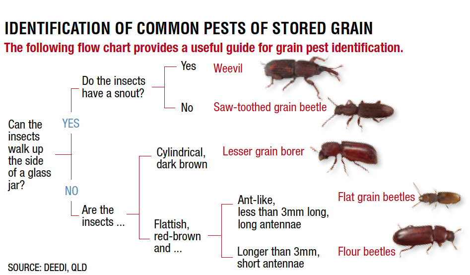 Identification of common pests of stored grain