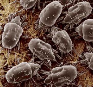 stored grain pest mites