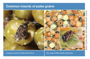 Common-insects-of-pulse-grains-