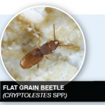 Flat Grain Beetle