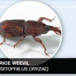 RICE WEEVIL (SITOPHILUS ORYZAE)