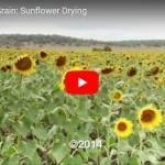 Stored Grain Sunflower video
