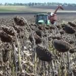 Grain Storage Early start sunflower